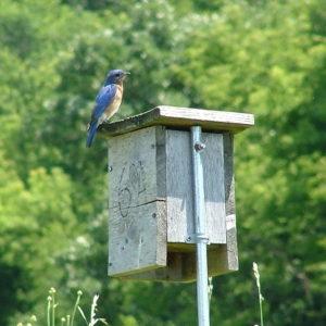 Eastern Bluebird on nest box