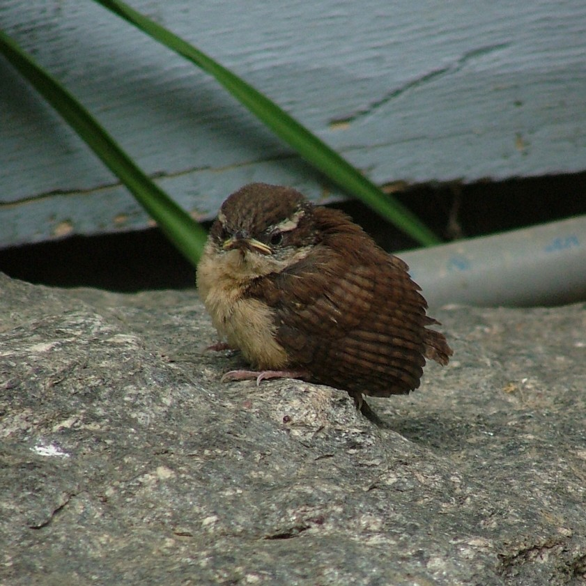 Carolina Wren Chick