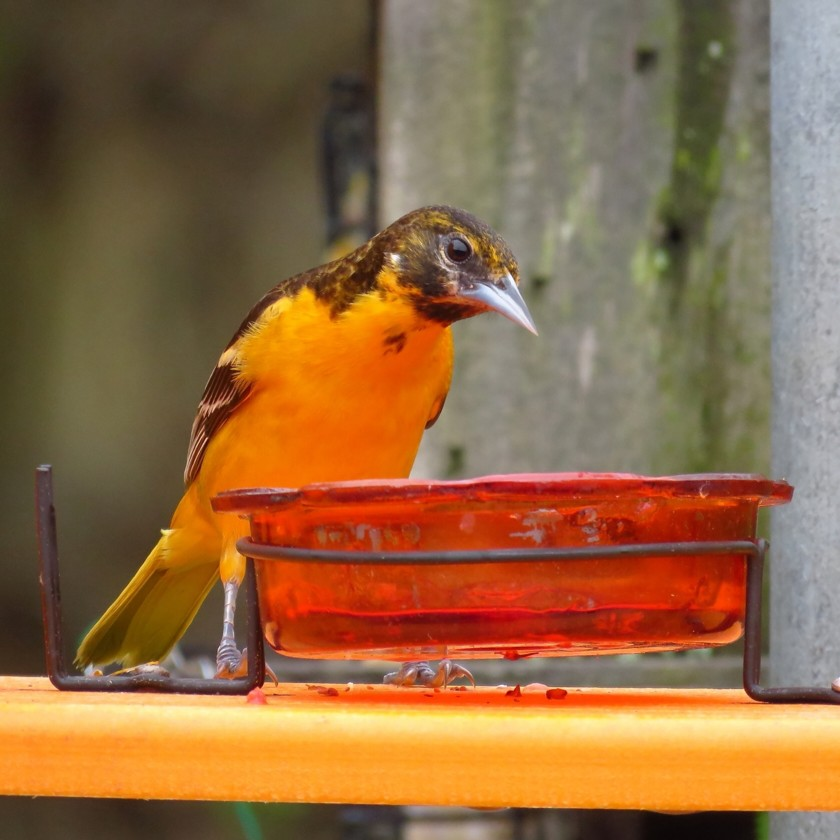 Female Baltimore Oriole, Icterus galbula