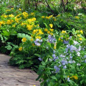 Virginia Bluebells and Celandine Poppy
