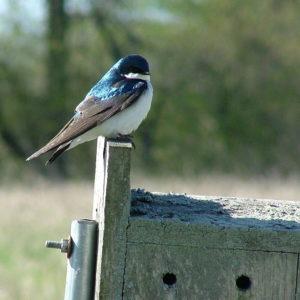 Tree Swallow on Nest Box