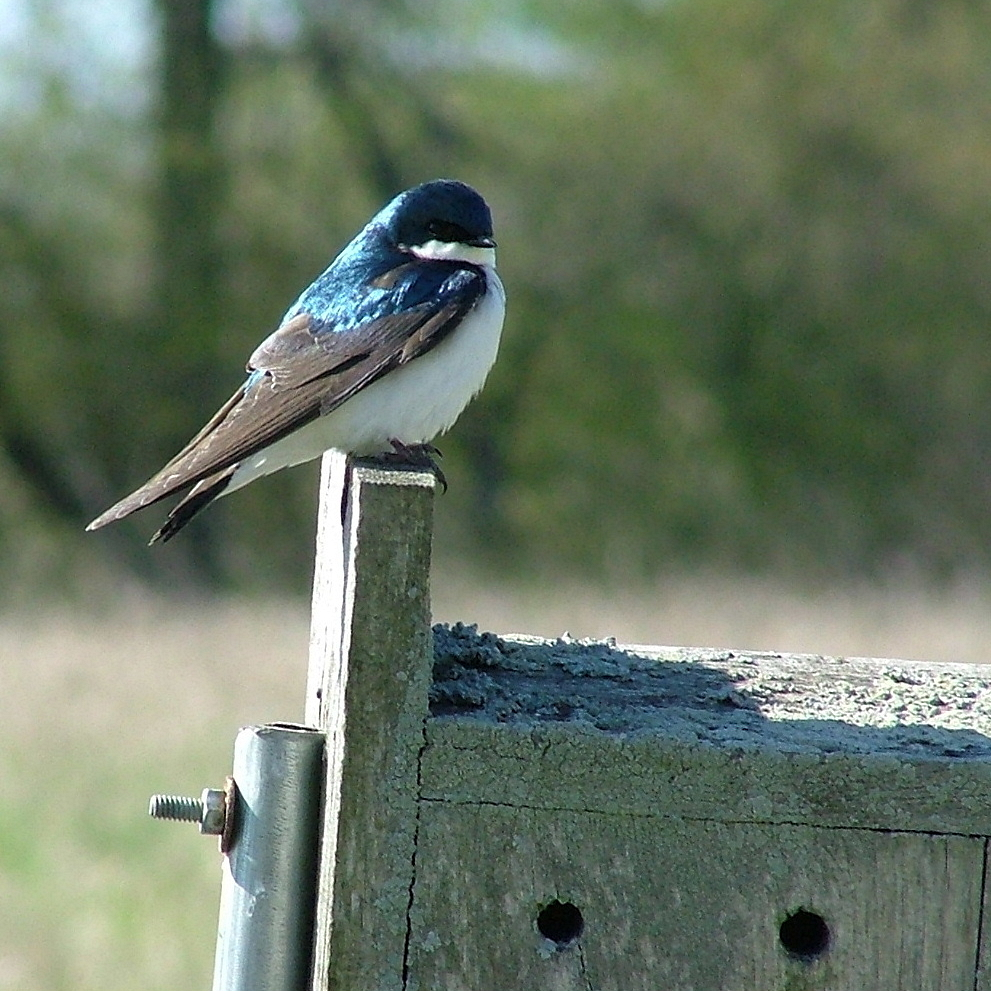 Tree Swallow on Nest Box