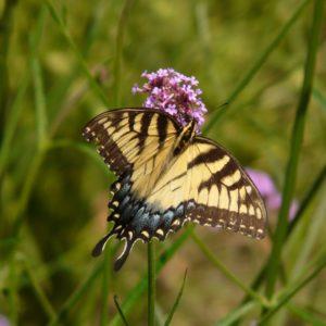Eastern Tigger Swallowtail