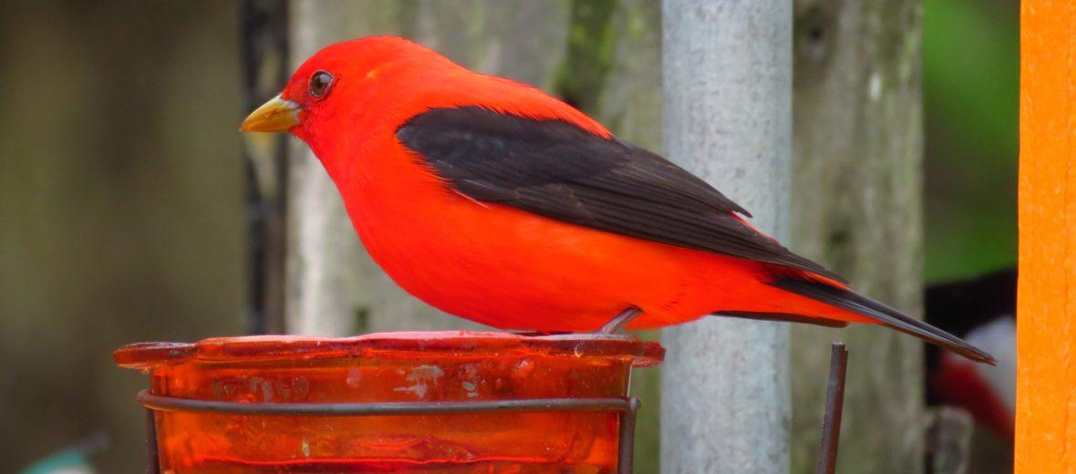 Scarlet Tanager, Male, Piranga olivacea