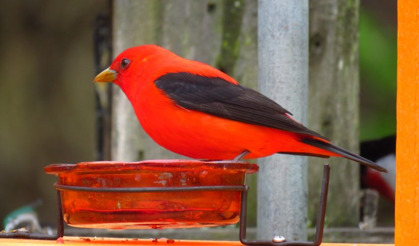 Scarlet Tanager, Male, Piranga olivacea