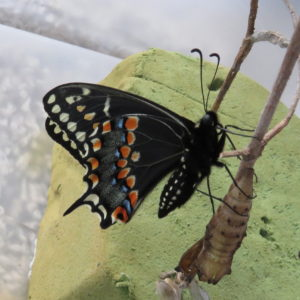 Black swallowtail with crysalis