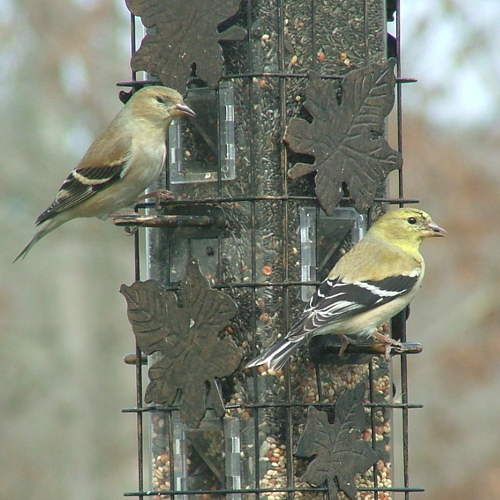 American Goldfinch, Non-breeding, Spinus Tristis
