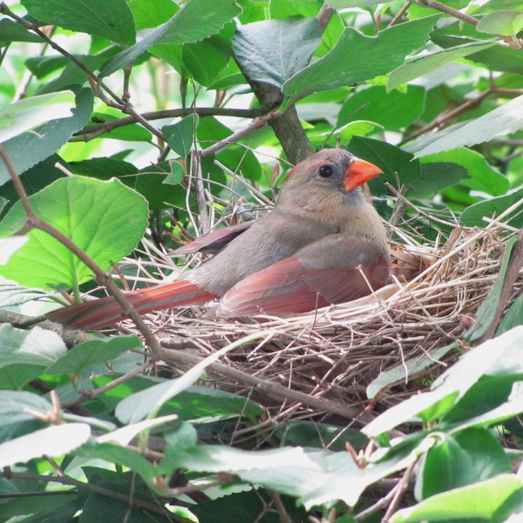 Northern Cardinal, Female on nest, Cardinalis cardinalis