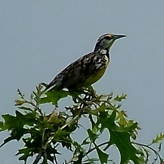 Eastern Meadowlark, Sturnella magna