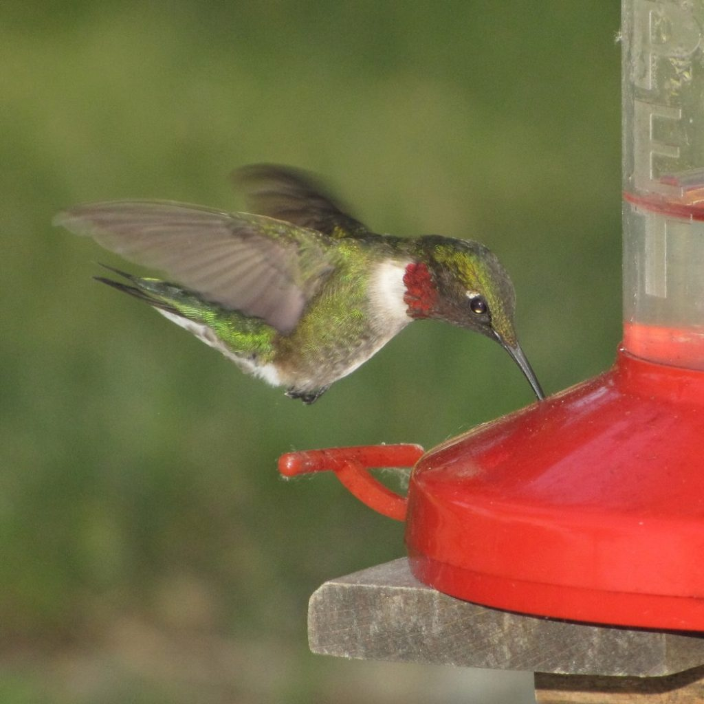 Ruby Throated Hummingbird, Male, Archilochus colubris